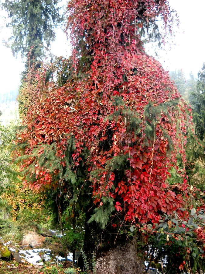 Nature`s own beauty with its aesthetic quality. A tree with its colourful leafs in Indian hilly region royalty free stock images