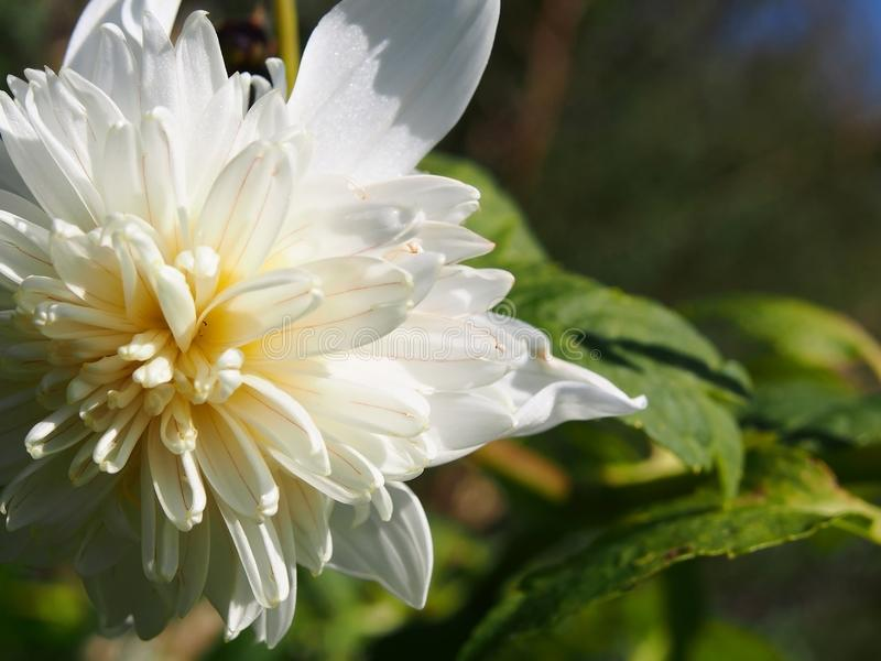 Nature`s perfection seen in this beautiful white flower royalty free stock photo