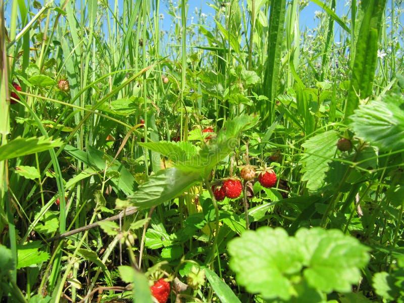 Nature sauvage verte rouge de ciel d'herbe de forêt de fraisier commun image stock