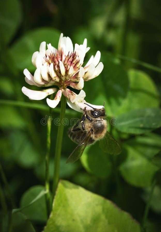 Bee on the white clover flower stock photography