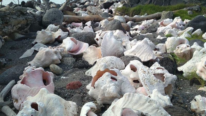 Amazing shells on Carribean Island beach. Nature shells on Carribean Island beach. No filters royalty free stock image