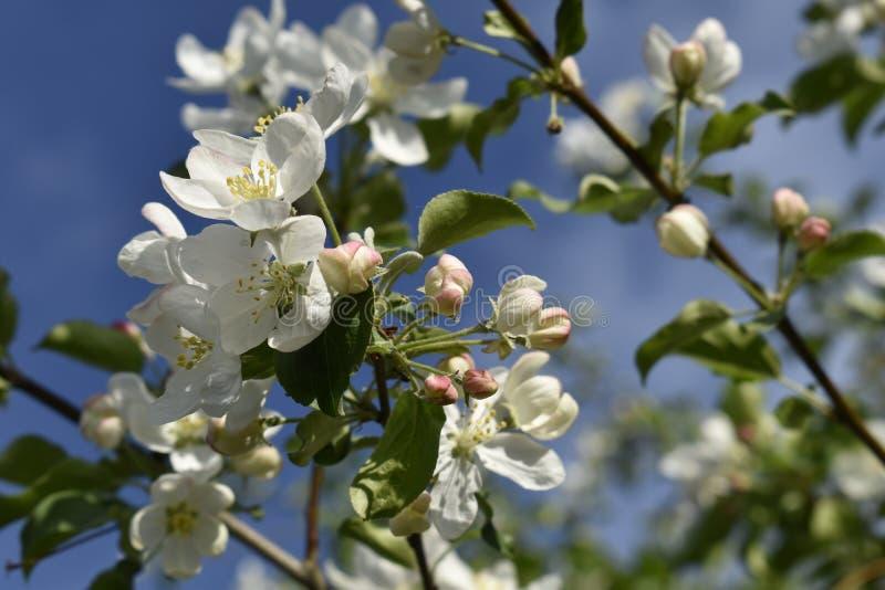 Nature sibérienne : fleurs de pomme photos libres de droits