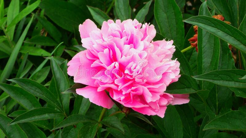 NATURE:  Single, pretty, pink flower. Up close view of single, pink flower. GEDSC DIGITAL CAMERA royalty free stock photos