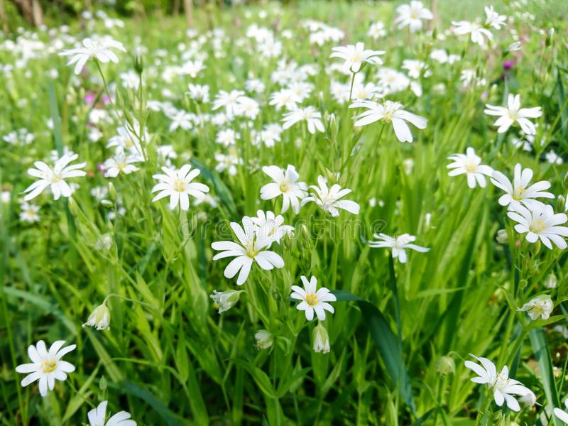 Nature small white spring flowers closeup royalty free stock photo
