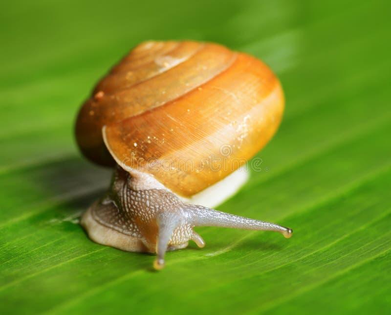 Snail creeps on green leaf royalty free stock photos