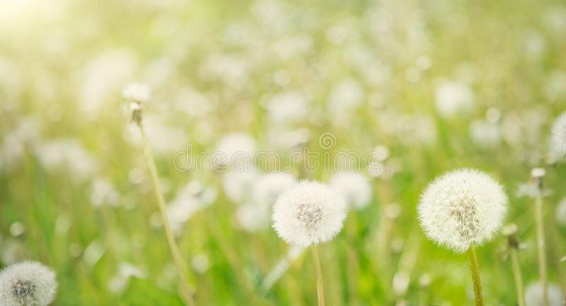 Nature Spring Background with white fluffy dandelion flowers. stock photo