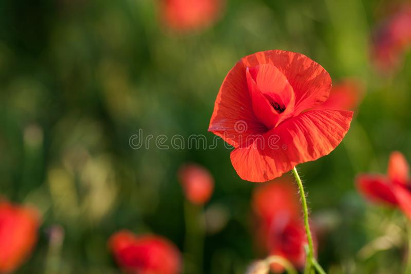 Nature, spring, blooming flowers concept - close-up on flowering poppy in the spring field, at sunny day with green royalty free stock photo