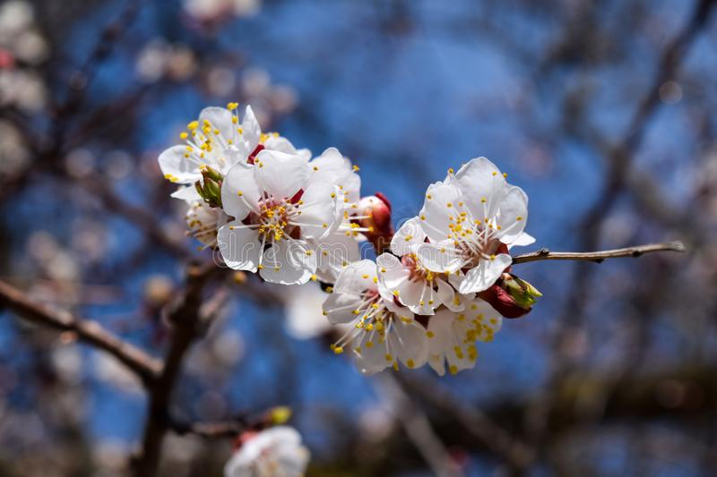 Flowering branch, pale white flowers with yellow pollen against the blue sky. Nature, spring, flowering apricot branch, white flowers look great on a pale blue royalty free stock photo