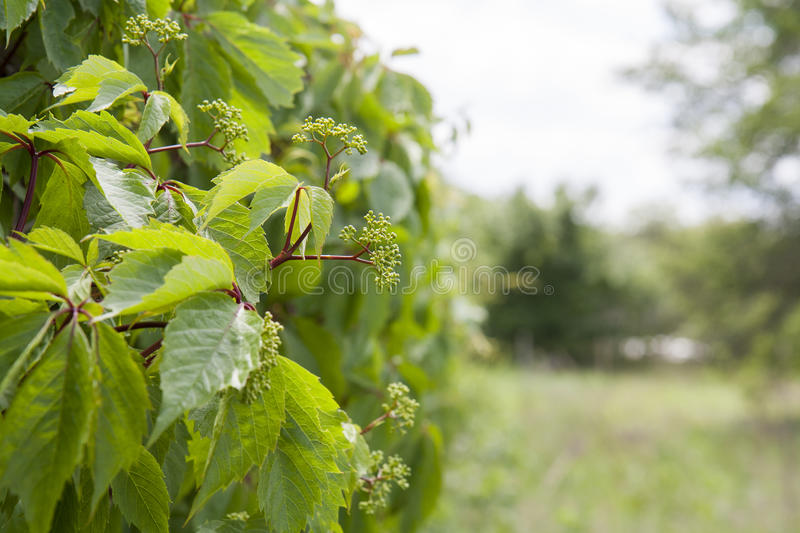 Nature spring summer flowers of wild grapes background royalty free stock photos