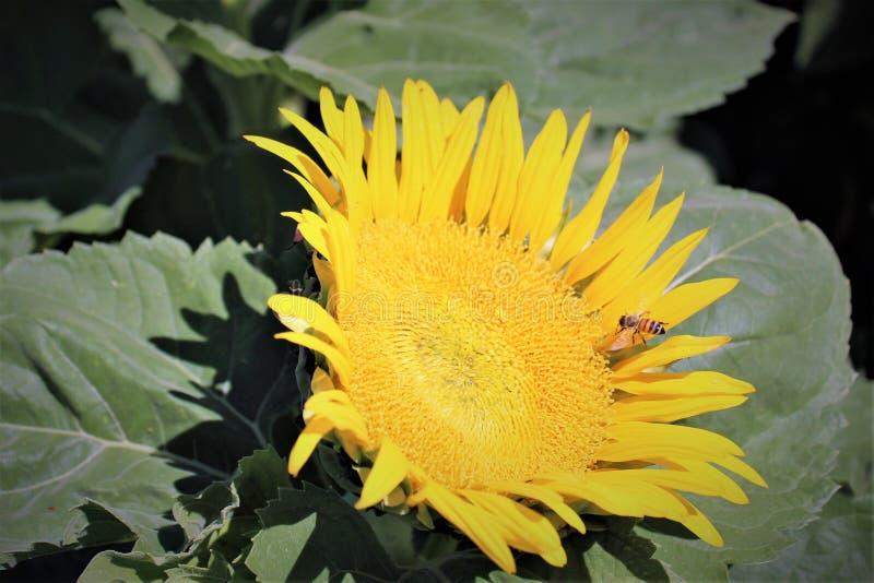 Nature Sunflower stock image