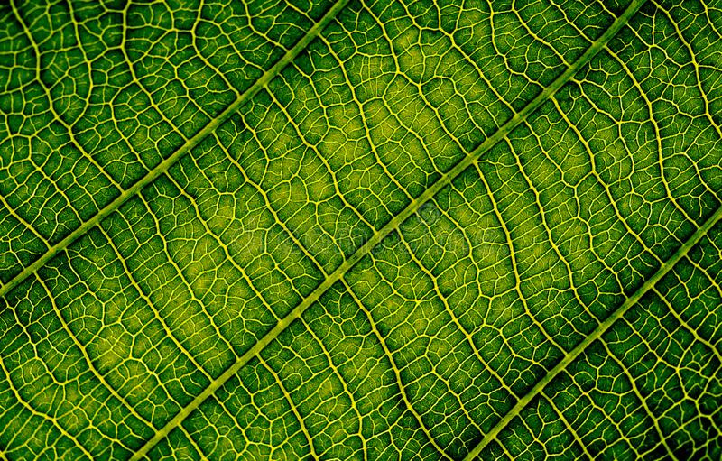 Nature texture closeup leaf veins high detail of macro bio science. Nature texture closeup leaf veins high detail of macro on green plant leaves with chlorophyll royalty free stock photo