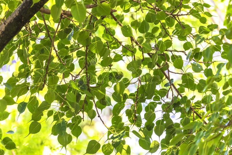 Nature texture,Peepal Tree Leaves,green leaves Background royalty free stock image