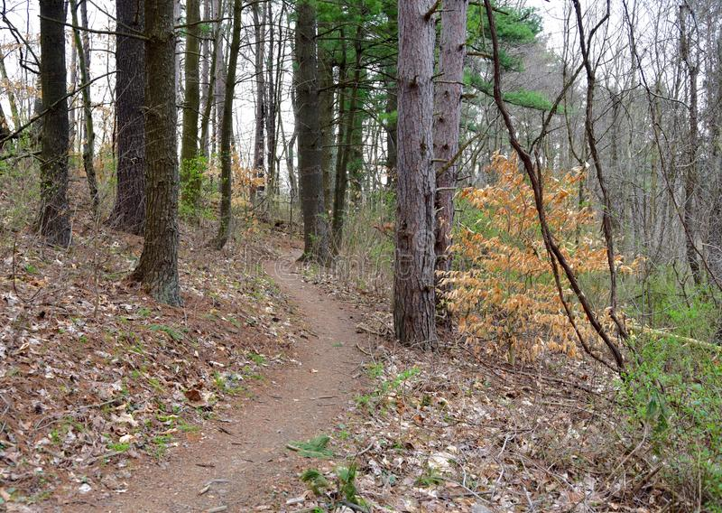 A nature trail passing through a pine forest in spring. stock photo