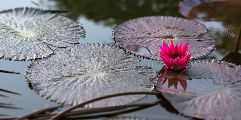 Nature tranquille du Trinidad-et-Tobago de scène d'étang rose de nénuphar photos stock