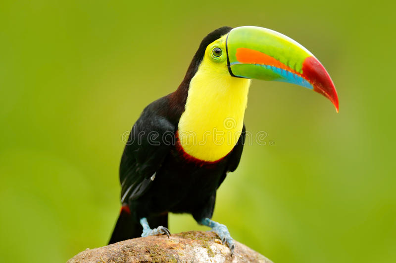Nature travel in central America. Keel-billed Toucan, Ramphastos sulfuratus, bird with big bill. Toucan sitting on the branch in t stock images
