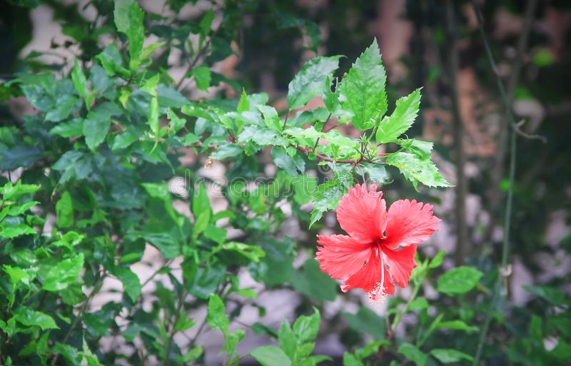Nature tropical ornamental hibiscus rosa sinensis tree and single colorful flowers red petal with long pollen blooming in garden royalty free stock photos