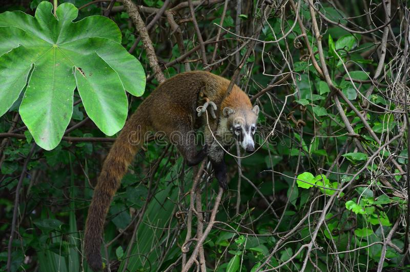 Nature tropicale - animaux exotiques - coati photographie stock