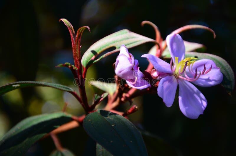 Nature tropicale - fleur violette image stock