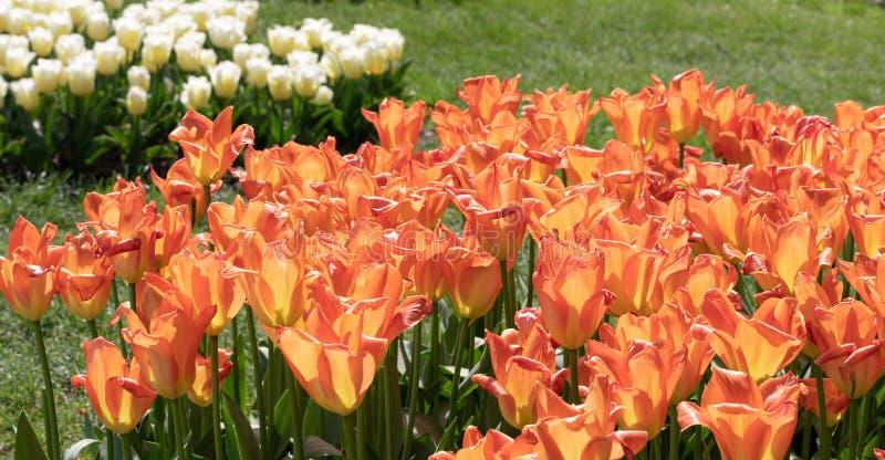 Nature Tulipe d'Orange Fleurs Jardin Flore photos libres de droits