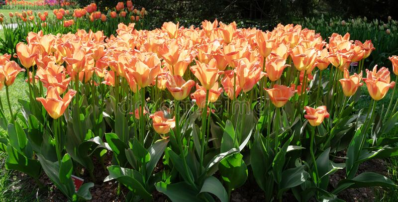 Nature Tulipe d'Orange Fleurs Jardin Flore images stock