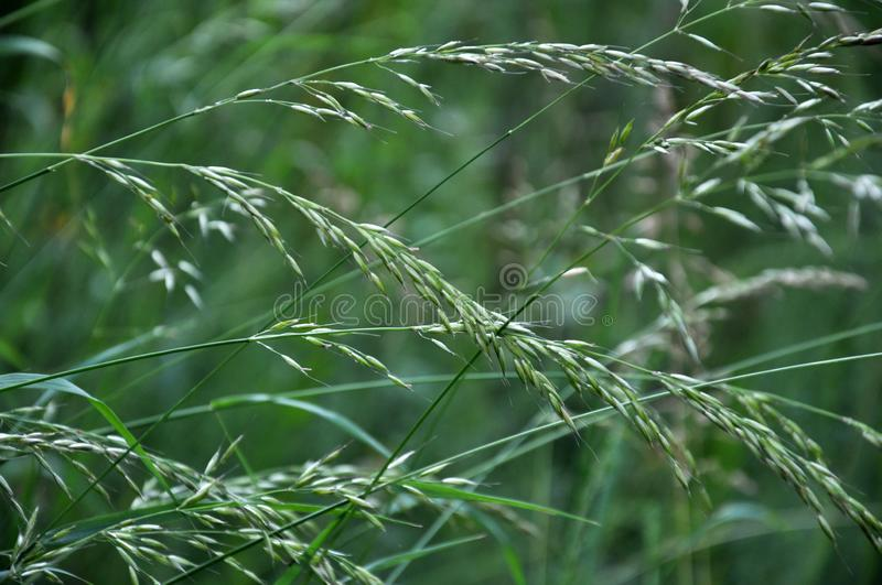 In nature, forage grass is growing for animals bluegrass Poa trivialis. In nature, a valuable forage animal is growing and blooming bluegrass Poa trivialis royalty free stock photography