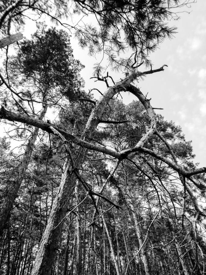 Pine trees in black and white royalty free stock image