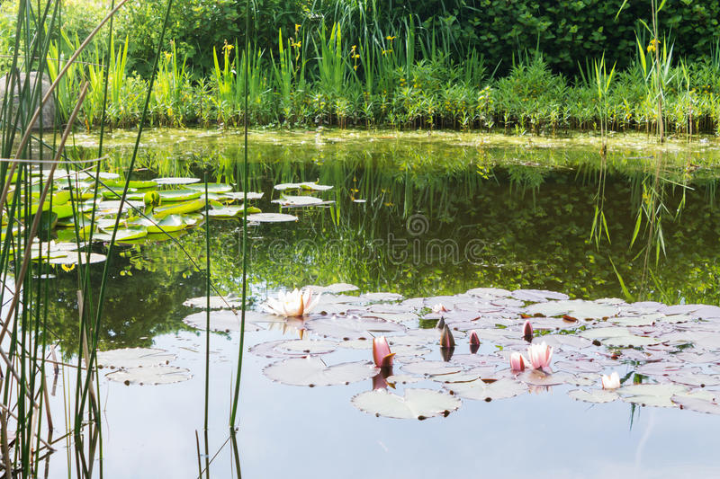 Nature water lilies. Green lily grass royalty free stock image