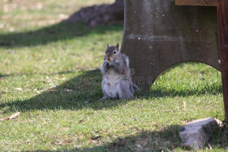 Nature wildlife squirrel photography image closeup stock photography