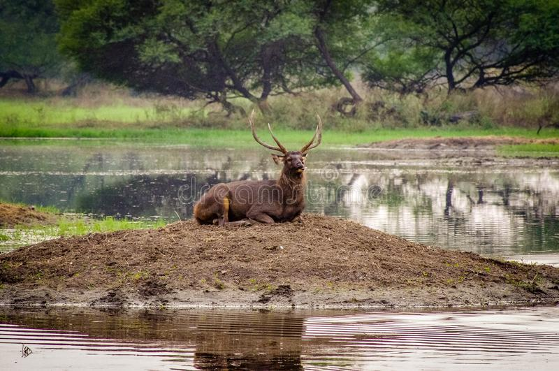 nature wildlife stag park india royalty free stock photos
