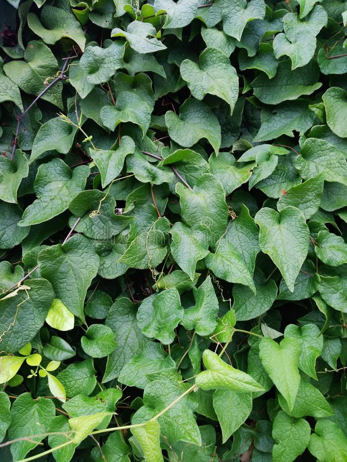 When the nature wins. Wall of leafs. It´s a garden`s bounder made of leafs royalty free stock images