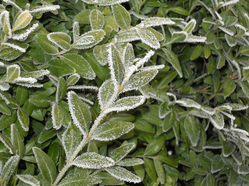 Nature in winter. Leaves in a colder day of winter. Trees are cover with a white layer of ice stock images
