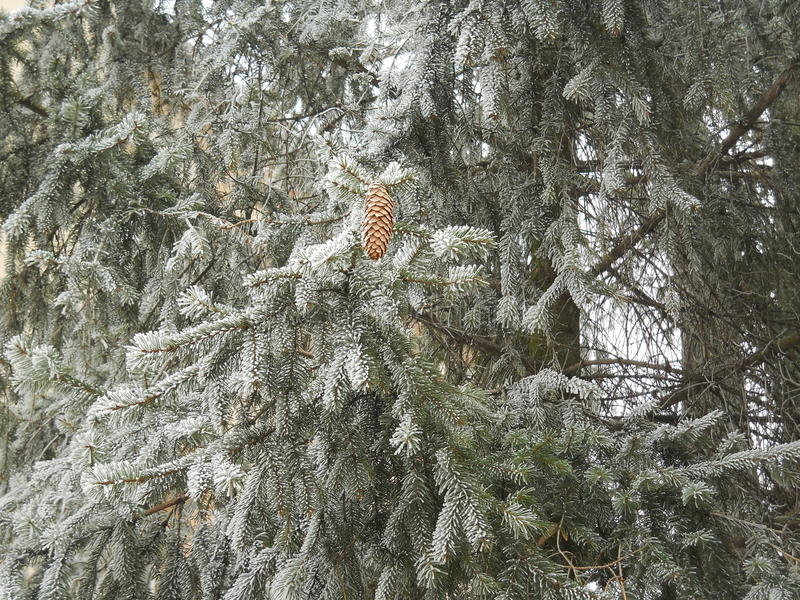 Nature in winter. A lonely pinecone in a colder day. Trees are cover with a white layer of ice stock image