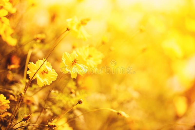 Nature yellow flower field blur background Yellow plant calendula autumn colors beautiful in the garden royalty free stock photo
