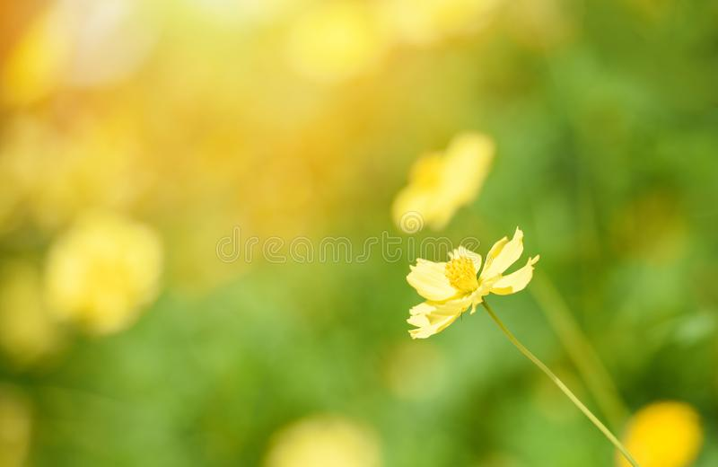 Nature yellow flower field blur background Yellow plant calendula autumn colors beautiful in the garden. Nature yellow flower field blur background / Yellow royalty free stock photography