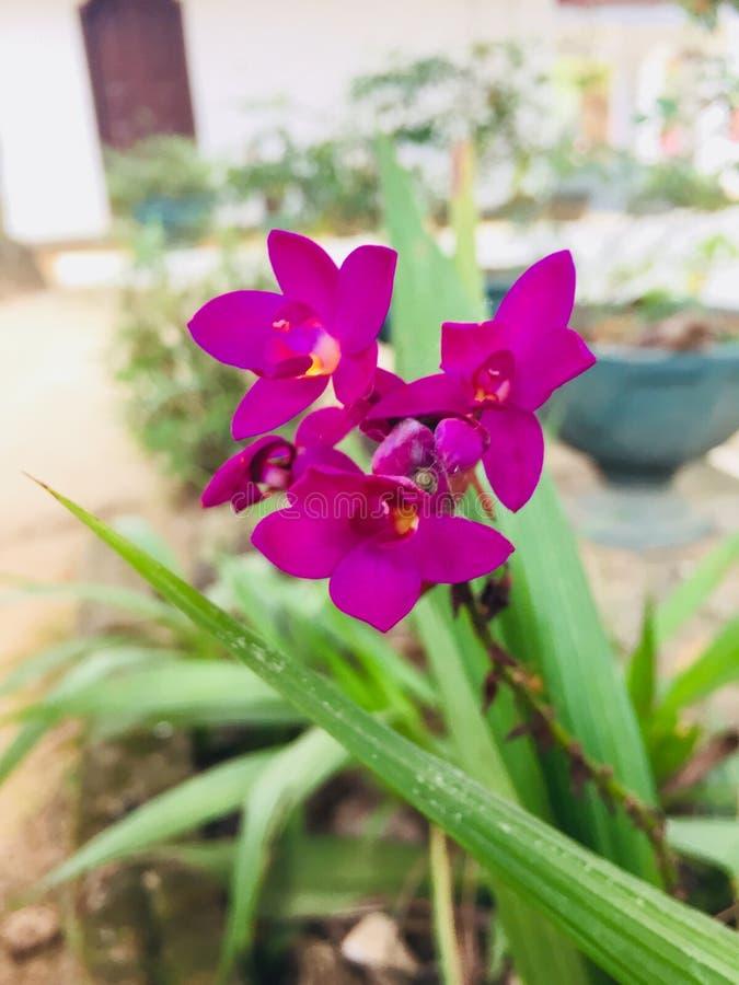 Naturel okid花在斯里兰卡 图库摄影