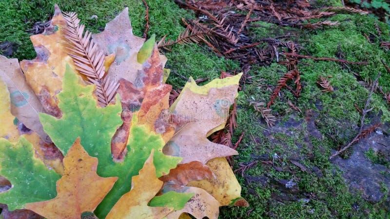 Naturen besitzen künstlerische Pastellblätter Herbständerungen holen schöne Färbung zu den Ahornblättern stockfoto