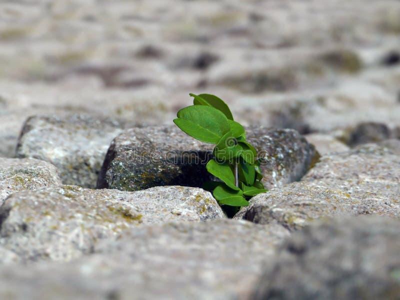 Naturen gör dess väg, växten som bryter till och med stenarna arkivbild