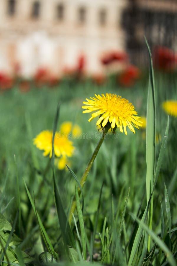NaturePool. Beautiful yellow flovers on the green grass stock image
