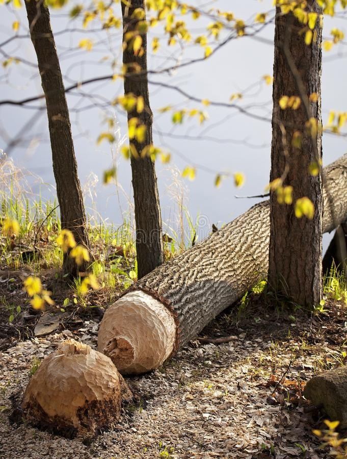 Natures architects, the beaver. Fallen tree taken down by natures architects, the beavers.  Wisconsin ecosystem stock photos