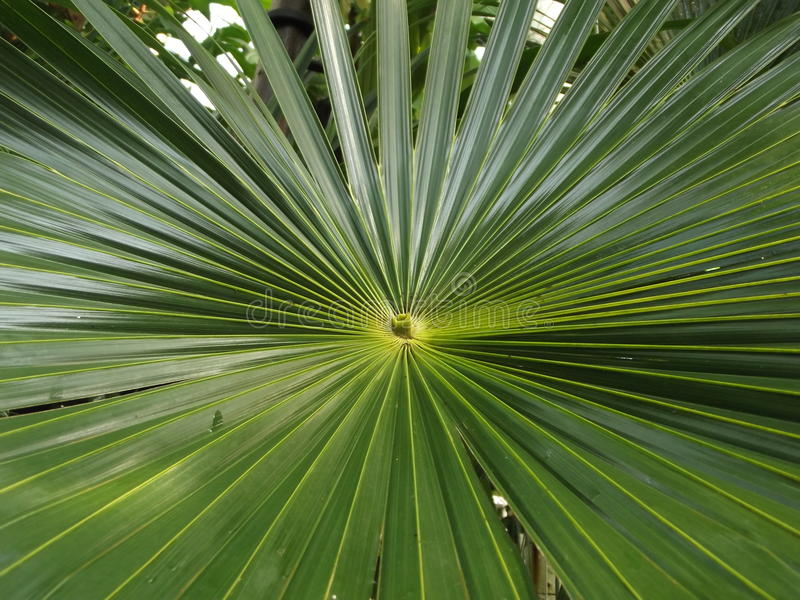 Natures Designs. A Green Palm Leaf royalty free stock photos