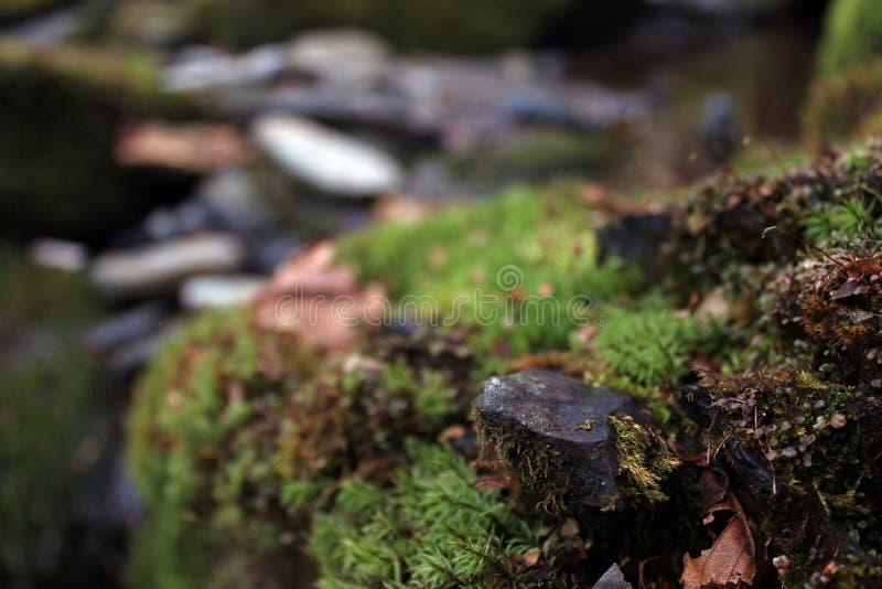 Naturescape di muschio o di Lichen Covering una pietra nel legno immagine stock libera da diritti