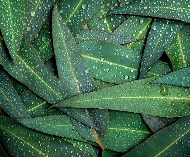 Natureukalyptussidor med vattenregn tappar bakgrund royaltyfri foto