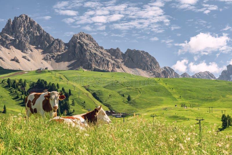 Natureza bonita com o rebanho da vaca no pasto imagens de stock
