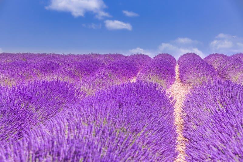Natureza bonita do verão Paisagem do por do sol do verão do campo da alfazema perto de Valensole Provence, France fotos de stock royalty free