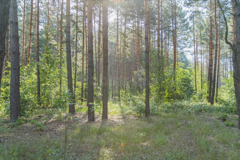 A natureza bonita na manhã na floresta enevoada da mola com sol irradia Floresta com Sun-raios foto de stock