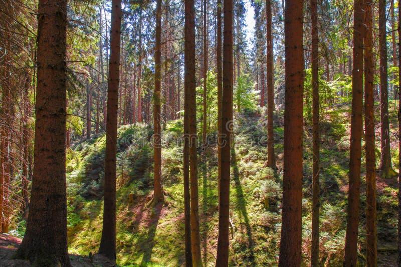 A natureza bonita na manhã na floresta enevoada da mola com sol irradia imagens de stock royalty free