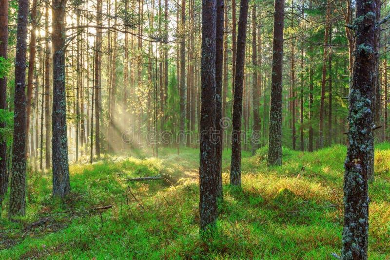 A natureza bonita na manhã na floresta enevoada da mola com sol irradia a floresta mágica da mola com raios do sol fotografia de stock