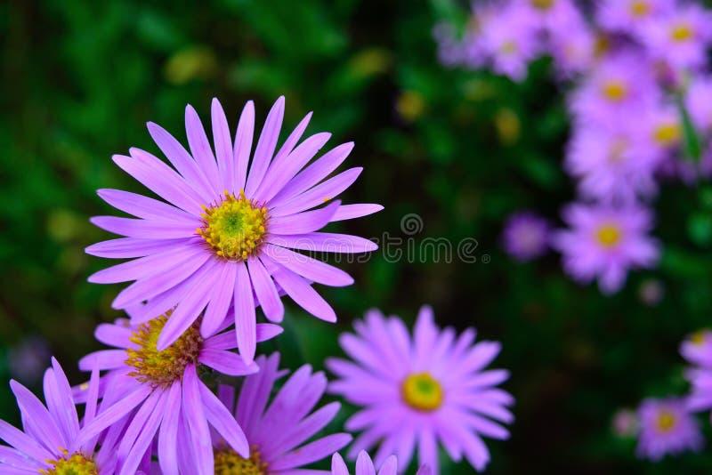 Natureza colorida do jardim do verão das pétalas roxas bonitas da flor do crisântemo fotos de stock royalty free