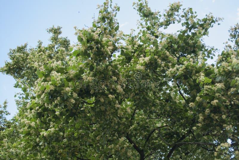Natureza com as flores frescas do cal pequeno-com folhas para o chá saudável erval fotografia de stock royalty free