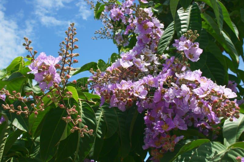 Natureza cor-de-rosa da beleza das flores em Tailândia sul fotos de stock
